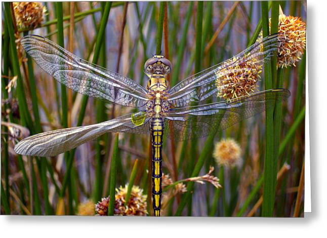 Dragonflies Greeting Cards - Dragonfly Greeting Card by Alison Lee  Cousland