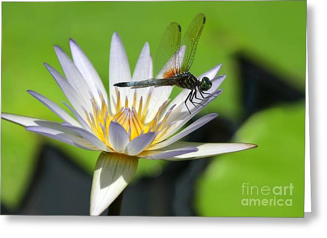 Reserve Greeting Cards - Dragonfly and the Water Lily Greeting Card by Sabrina L Ryan