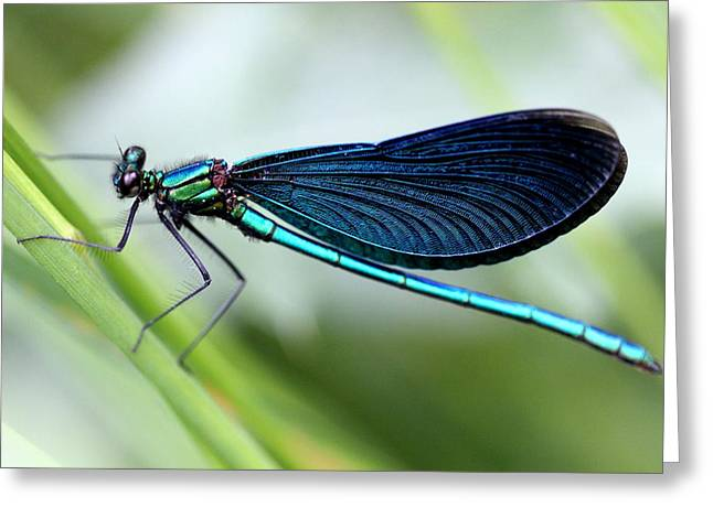 Demoiselles Greeting Cards - Dragonfly Greeting Card by Charlotte Therese Bjornstrom