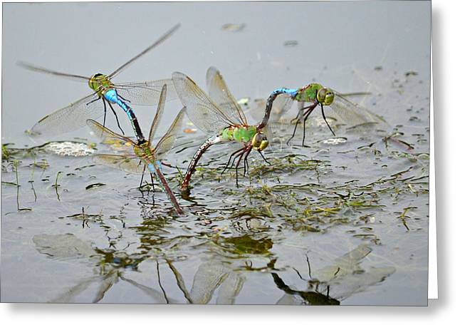 Green Darner Dragonflies Greeting Cards - Dragonfly Days Greeting Card by Fraida Gutovich