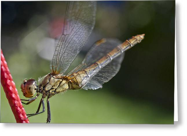 Zoologic Greeting Cards - Dragonfly Greeting Card by Heiko Koehrer-Wagner