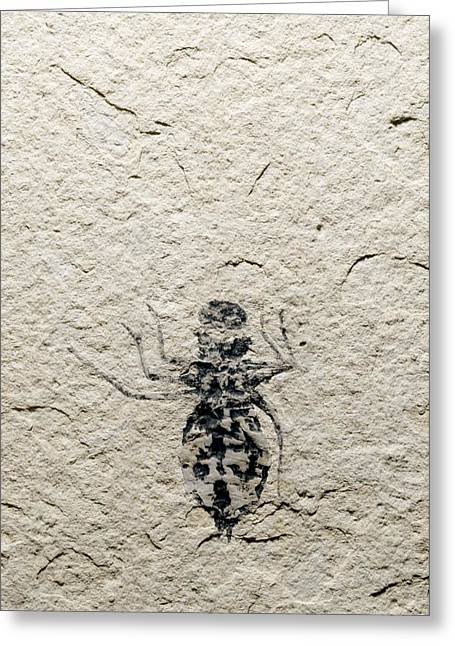 Miocene Greeting Cards - Dragonfly Larva Fossil Greeting Card by Sinclair Stammers
