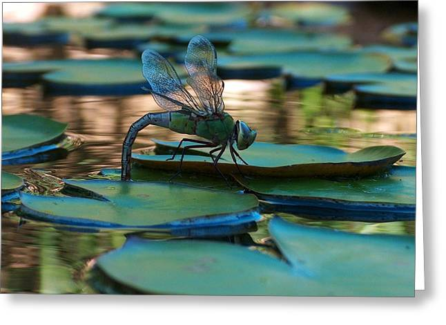 Gt Greeting Cards - Dragonfly laying eggs Greeting Card by Gt