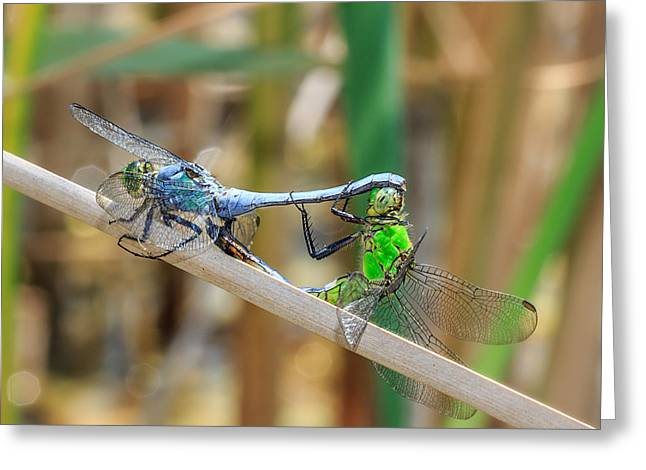 Dragonflies Greeting Cards - Dragonfly Love Greeting Card by Everet Regal