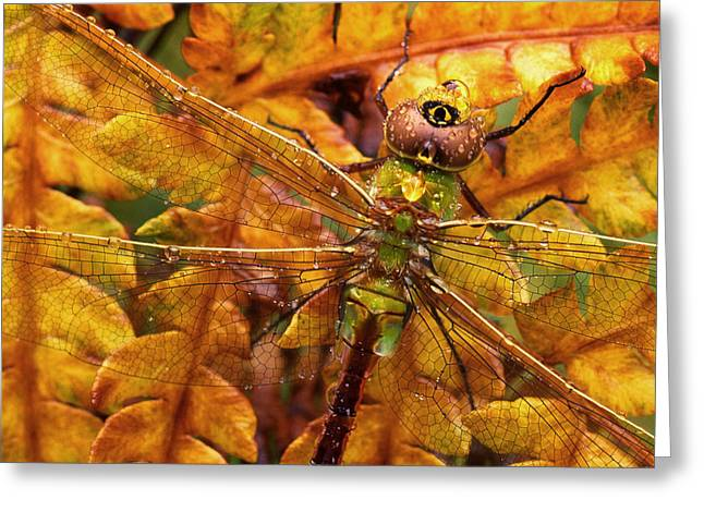 Odonata Greeting Cards - Dragonfly Morning Dew Greeting Card by Tony Ramos