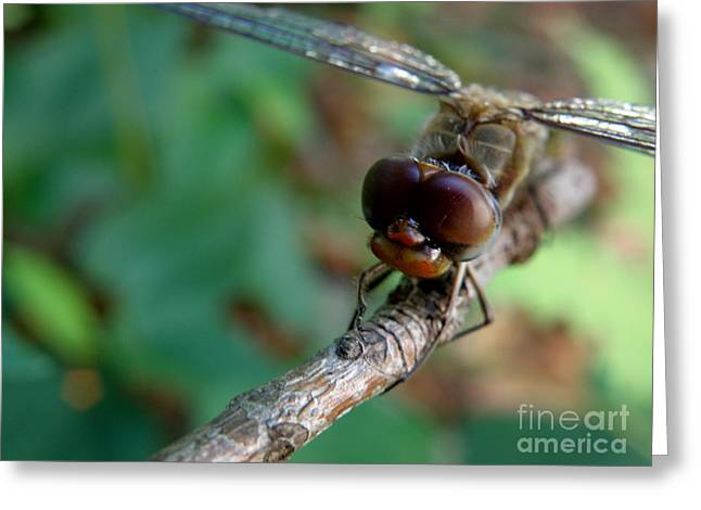 Lainie Wrightson Greeting Cards - Dragonfly on a Twig Greeting Card by Lainie Wrightson