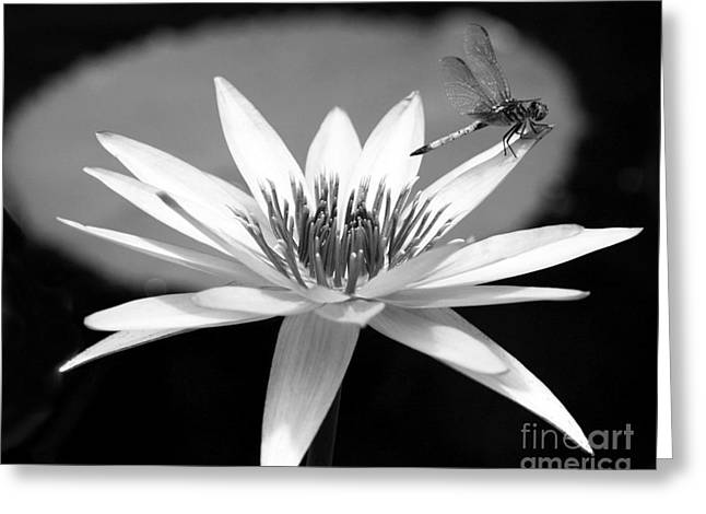 Water Lilies And Insects Greeting Cards - Dragonfly on the Water Lily Greeting Card by Sabrina L Ryan