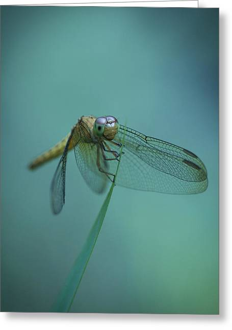 Odonata Greeting Cards - Dragonfly Greeting Card by Zoe Ferrie