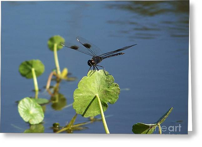 Water Lilly Greeting Cards - Dragons Landing Greeting Card by Amanda Vouglas