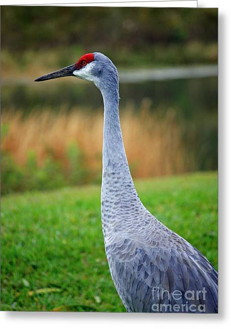 Sandhill Cranes Greeting Cards - Dreaming Sandhill Crane Greeting Card by Carol Groenen