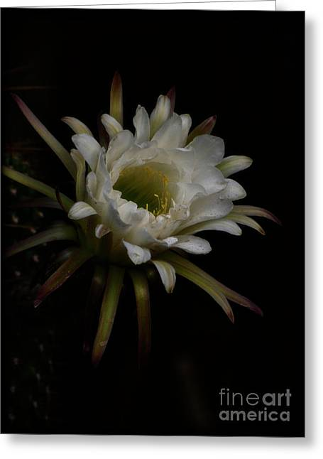 Torch Cactus Greeting Cards - Dreams of Night Greeting Card by Saija  Lehtonen