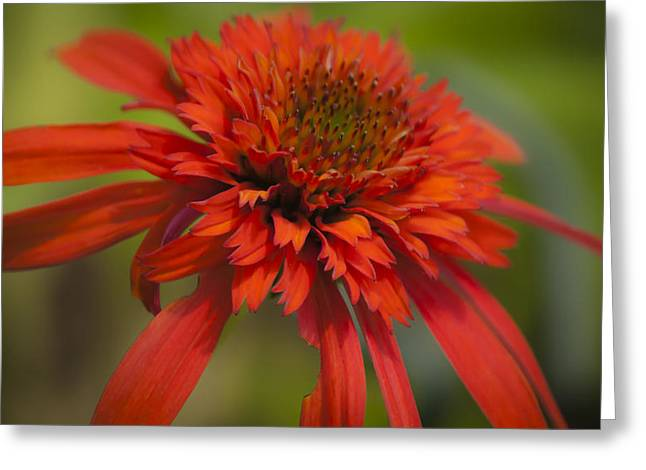 Dreamy Hot Papaya Coneflower Bloom Greeting Card by Teresa Mucha