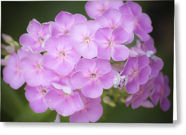 Purple Phlox Greeting Cards - Dreamy Lavender Phlox Squared Greeting Card by Teresa Mucha