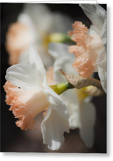 Unrequited Greeting Cards - Dreamy Peach Daffodils Greeting Card by Teresa Mucha