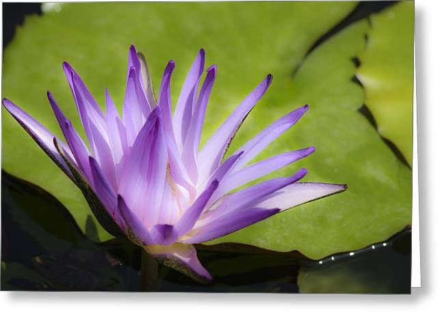 Lilly Pads Greeting Cards - Dreamy Purple Water Lilly Greeting Card by Teresa Mucha