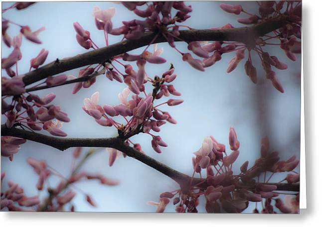 Cercis Greeting Cards - Dreamy Redbud  Greeting Card by Teresa Mucha