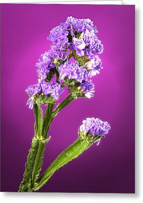 Flowers Stretched Prints Greeting Cards - Dreamy Wild FLower Greeting Card by M K  Miller