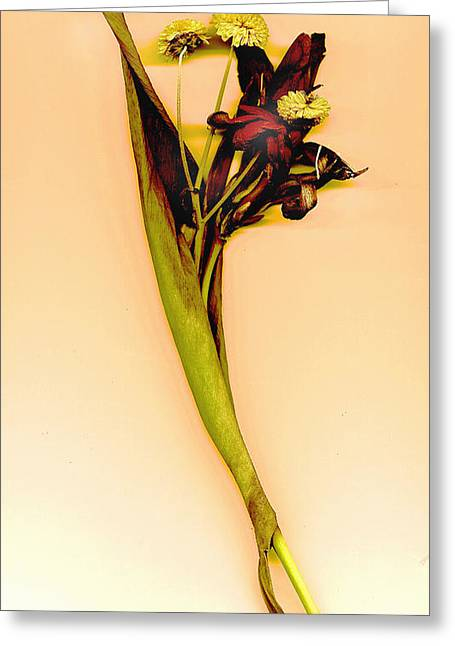 Canna Mixed Media Greeting Cards - Dried Canna Greeting Card by JDon Cook