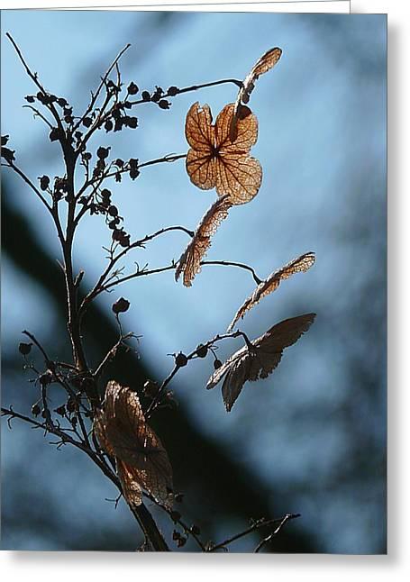Dried Hydrangeas Greeting Cards - Dried Hydrangea Against Blue  Greeting Card by Beth Akerman