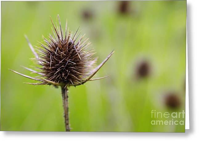 Prick Greeting Cards - Dried Thistle Greeting Card by Carlos Caetano
