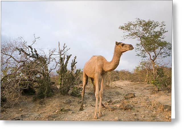 Raining Greeting Cards - Dromedary Camel In Overgrazed Cloud Greeting Card by Sebastian Kennerknecht