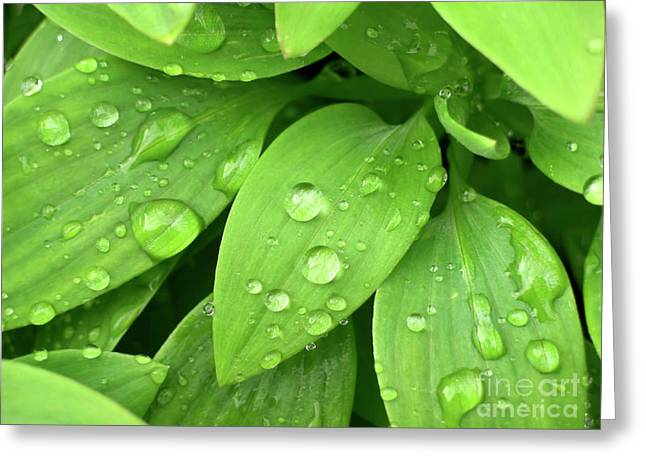 Dewdrop Greeting Cards - Drops On Leaves Greeting Card by Carlos Caetano