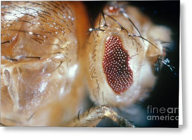 Drosophila Mutant With Bar Eyes Greeting Card by Science Source