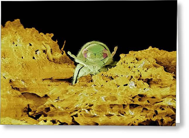 Drugstores Greeting Cards - Drugstore Beetle, Sem Greeting Card by Volker Steger