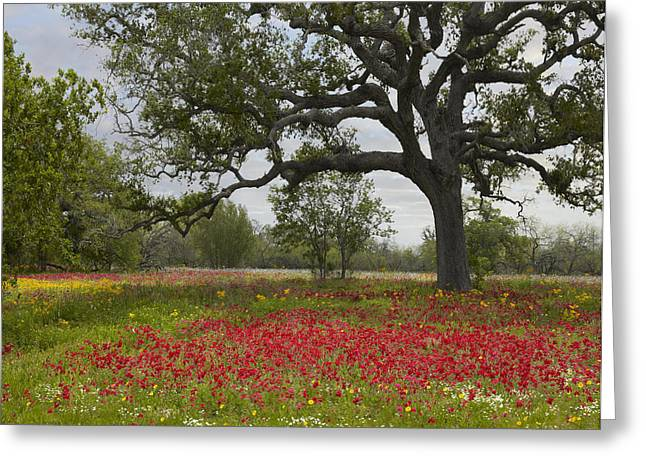 Animals and Earth - Greeting Cards - Drummonds Phlox Meadow Near Leming Texas Greeting Card by Tim Fitzharris