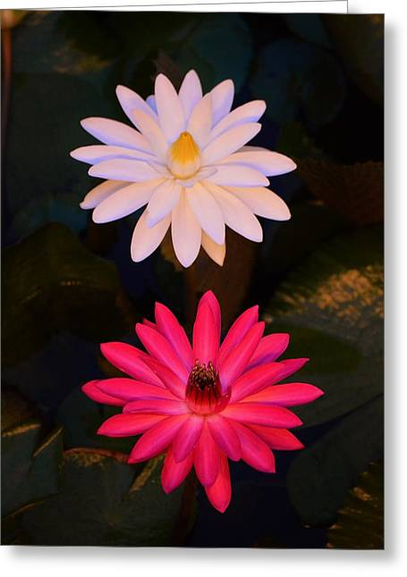 Abloom Greeting Cards - Dual Beauties Greeting Card by William Bartholomew