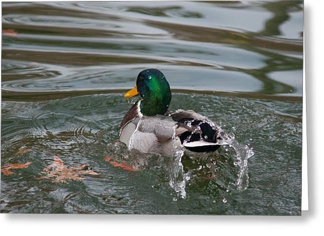 Duck Bathing Series 6 Greeting Card by Craig Hosterman