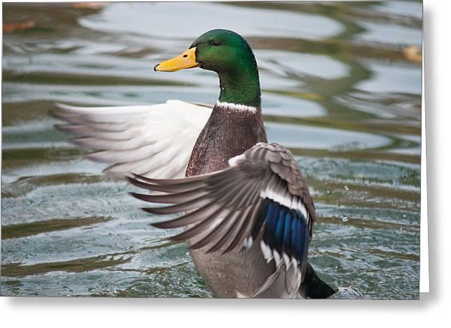 Duck Bathing Series 7 Greeting Card by Craig Hosterman