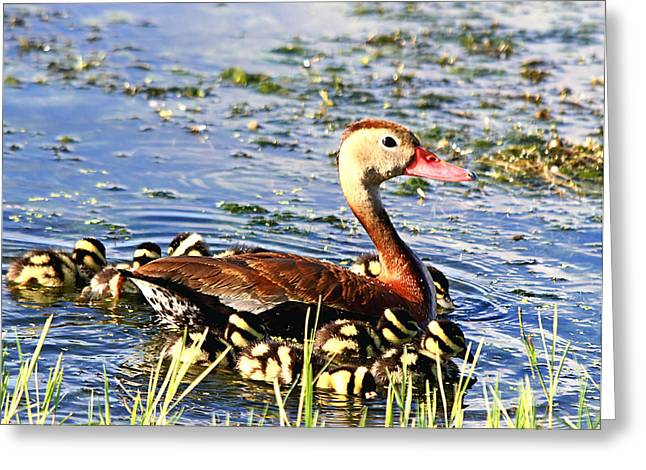Water Fowl Greeting Cards - Duck Family Greeting Card by Ira Runyan