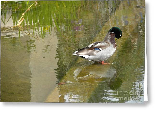 Duck on a Ledge Greeting Card by Silvie Kendall