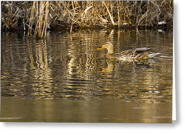 Nature Center Pond Greeting Cards - Duck Ripples Greeting Card by LeeAnn McLaneGoetz McLaneGoetzStudioLLCcom