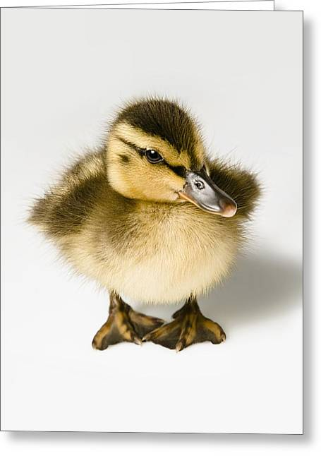 Ducklings Greeting Cards - Duckling Greeting Card by Leah Hammond