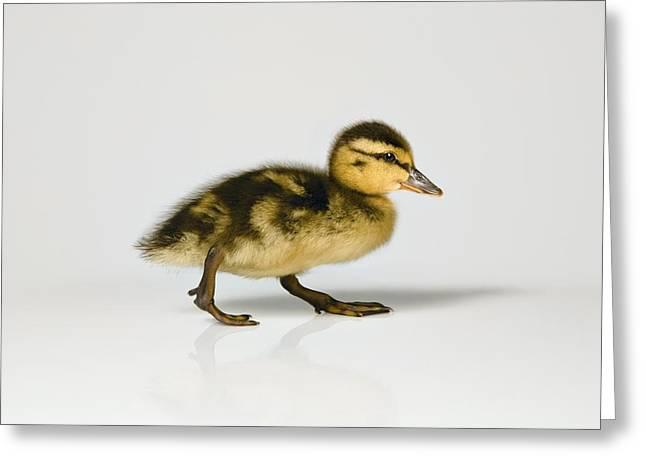 Ducklings Greeting Cards - Duckling Walking Greeting Card by Leah Hammond