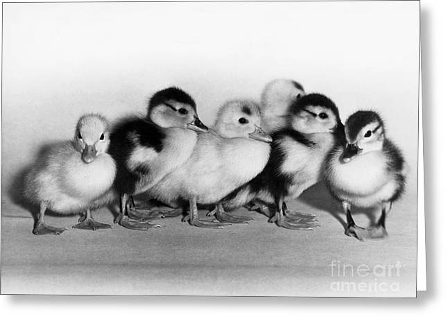 Ducklings Greeting Cards - Ducklings Greeting Card by C. P. Fox