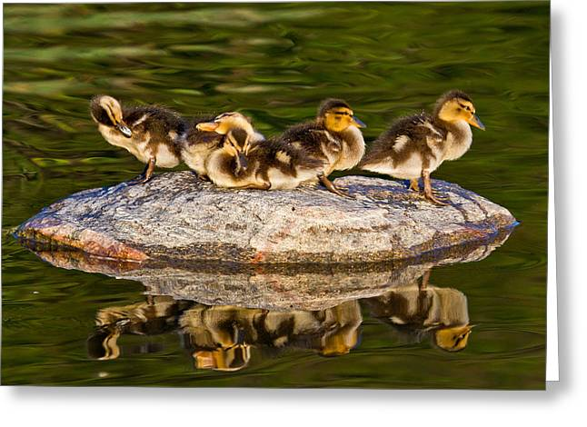Ducklings Greeting Cards - Ducklings catch some rays Greeting Card by Bill Lindsay