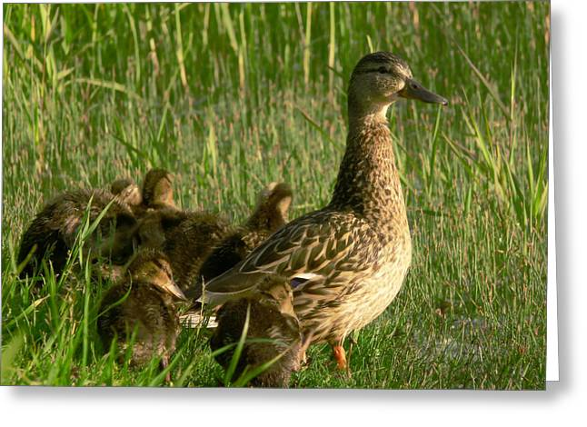Baby Mallards Greeting Cards - Ducks Greeting Card by Jaroslaw Grudzinski