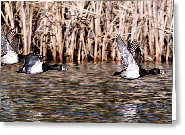 Ducks - Ring Neck - Hold Up Greeting Card by Travis Truelove