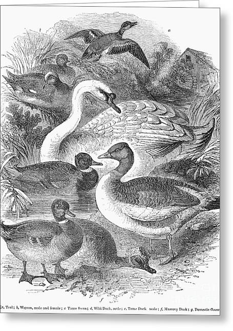Muscovy Greeting Cards - Ducks, Swans & Geese Greeting Card by Granger