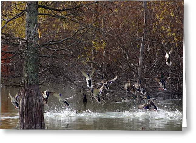 Water Fowl Photographs Greeting Cards - Ducks Taking Flight Greeting Card by Geary Barr