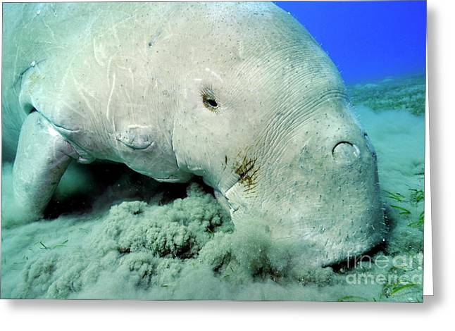 Undersea Photography Greeting Cards - Dugong eating Posidonia Oceanica on sea bed Greeting Card by Sami Sarkis