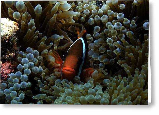 Anenome Greeting Cards - Dusky Anenomefish Greeting Card by Brian Governale