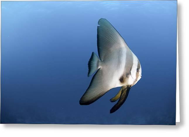 Batfish Greeting Cards - Dusky Batfish Greeting Card by Photostock-israel