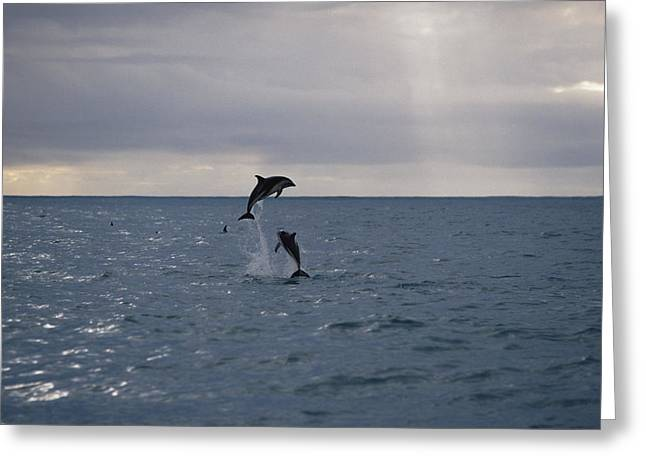 Delphinidae Greeting Cards - Dusky Dolphin Lagenorhynchus Obscurus Greeting Card by Konrad Wothe
