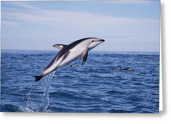 Delphinidae Greeting Cards - Dusky Dolphin Lagenorhynchus Obscurus Greeting Card by Todd Pusser