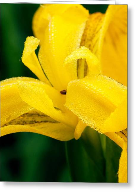 Dew Covered Flower Greeting Cards - Dutch Iris Greeting Card by Amanda Kiplinger