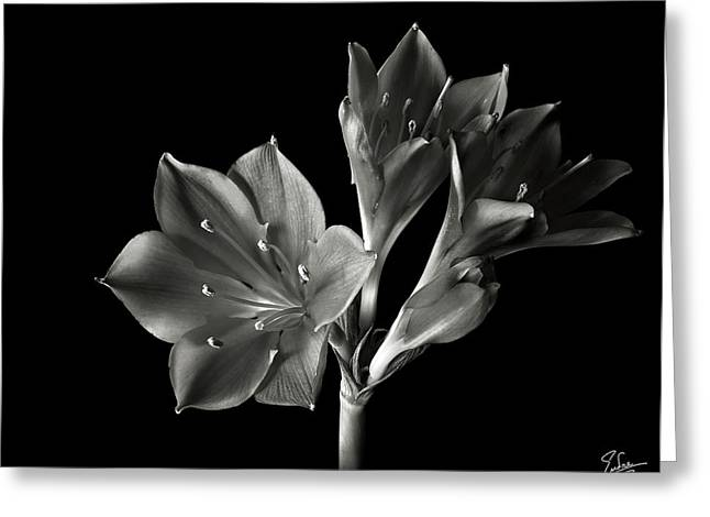 S Amaryllis Greeting Cards - Dwarf Amaryllis in Black and White Greeting Card by Endre Balogh